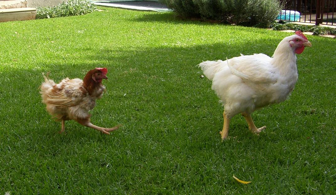 genetically modified chicken - photo #33