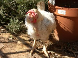 Rachel day 1 - This is generally what an ex battery hen looks like when we receive them. Abused, a little featherless, damaged feathers, skin tears, often sick, sore feet, long nails, whitish comb, and grey around the eyes, droopy comb - the list continues