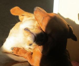 My daschund Gus loving our other dog Bobby