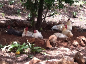 escaping the heat of the African sun. Our chickens enjoy the freedom they have previously had stolen from them
