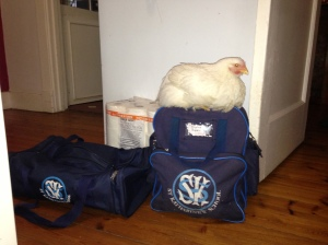 life in our household. One of our baby broilers makes herself comfortable on my sisters school case one morning