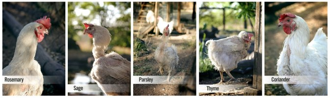 Jessica, Rosemary, Sage, Thyme, Coriander and Parsley – a month of glorification of the chicken