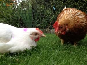 Smartie & Bessie the broiler