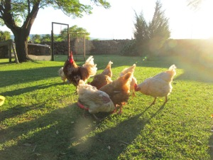 morning light on some of our rescue flock
