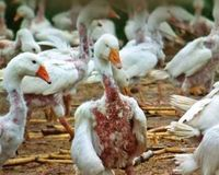 http://www.thepetitionsite.com/883/993/634/hungary-stop-plucking-live-birds-for-their-feathers-for-down-products/