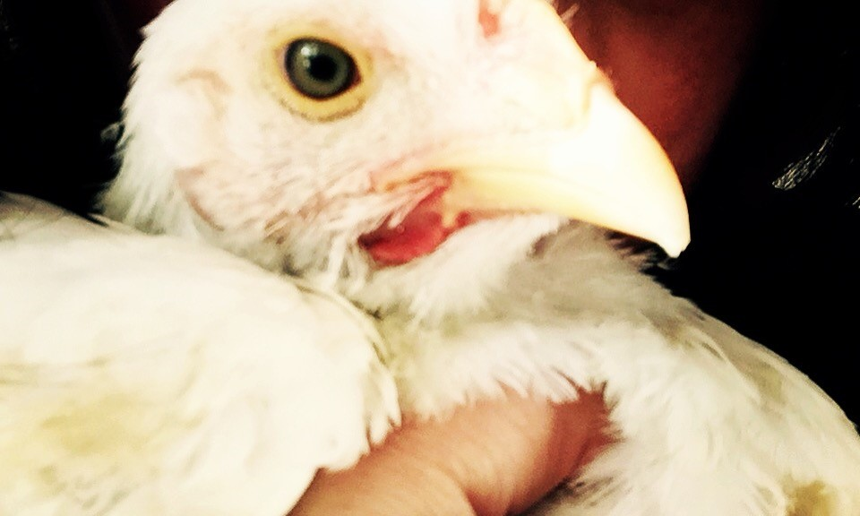 Chicken Rescue and Rehabilitation, South Africa
